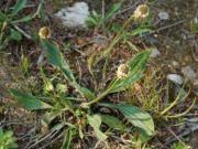 Babka lancetowata (Plantago lanceolata)