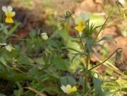Fiołek polny (Viola arvensis)