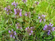 Jasnota purpurowa (Lamium purpureum)