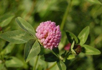 Koniczyna łąkowa, czerwona (Trifolium pratense)