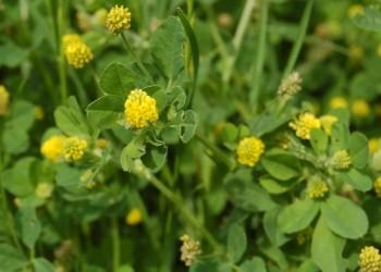 Koniczyna różnoogonkowa (Trifolium campestre)