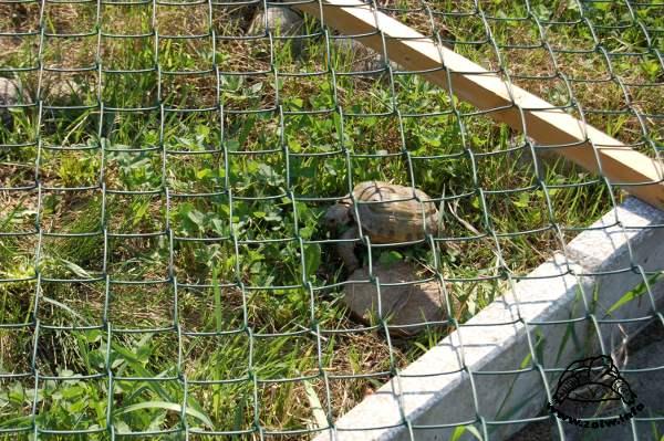 Żółw stepowy na wybiegu wiosna 2009