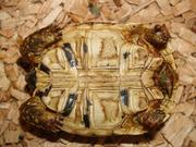 Żółw lamparci - samiec
