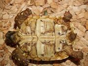 Żółw lamparci - samica