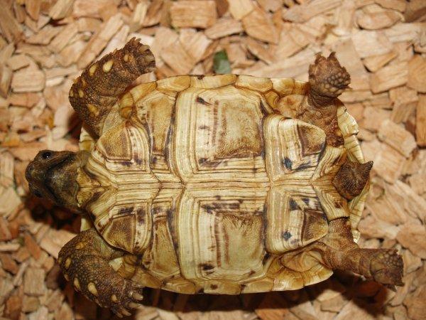 Żółw lamparci - młoda samica