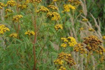 Wrotycz zwyczajny (Tanacetum vulgare)