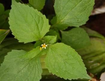 Żółtlica drobnokwiatowa (Galinsoga parviflora)