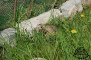 Prowizoryczny wybieg dla żółwia lądowego - ogrodzenie