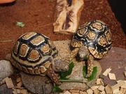 Żółwie lamparcie