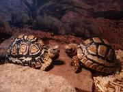 Żółwie lamparcie - parka młodych